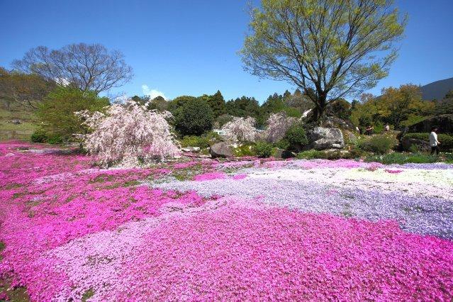 山本牧場の芝桜まつり2020|愛媛のイベントを探す|愛媛県の公式観光サイト【いよ観ネット】